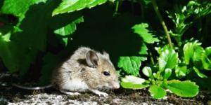 Rat, Mouse & Squirrel Control Cape Town • Eco Slayer Cape Town