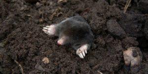 Mole Control Cape Town