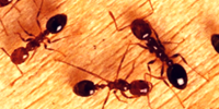 carpenter-ants-ant-control-cape-town